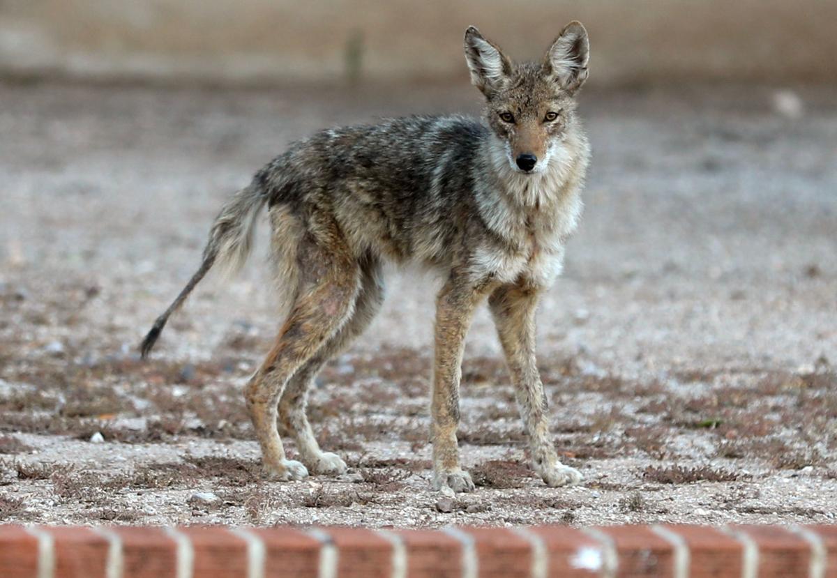 11019-news-coyotes-p2.jpg