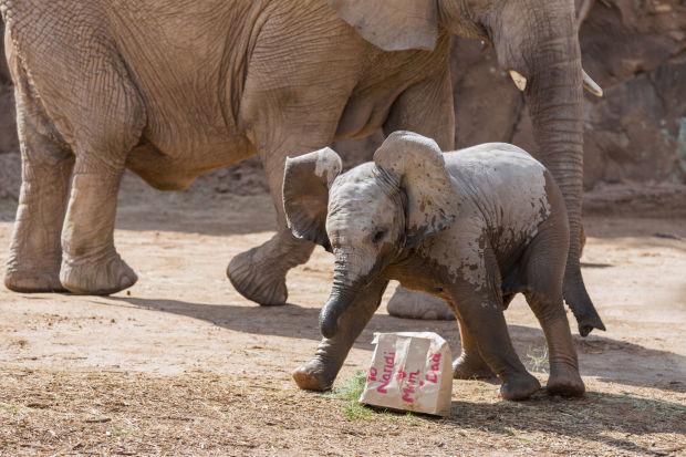 Baby elephant Nandi's party