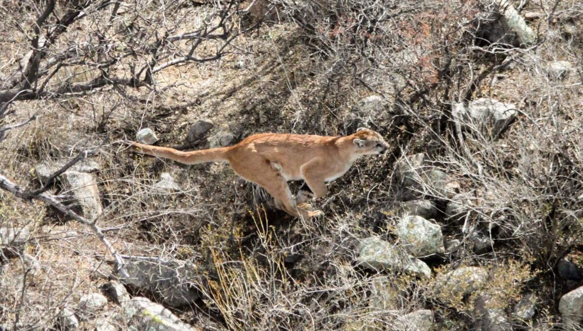 Mountain lion in Sonoita and Patagonia area
