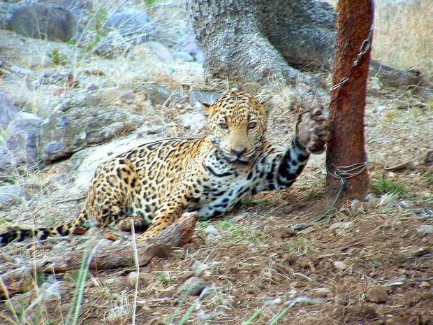 Jaguar's capture broke law, feds say