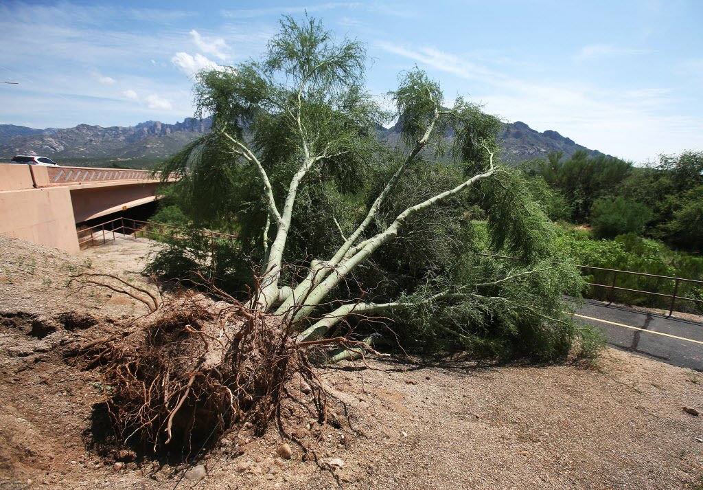 Palo Verde Beetles Mainly A Danger To Unhealthy Trees