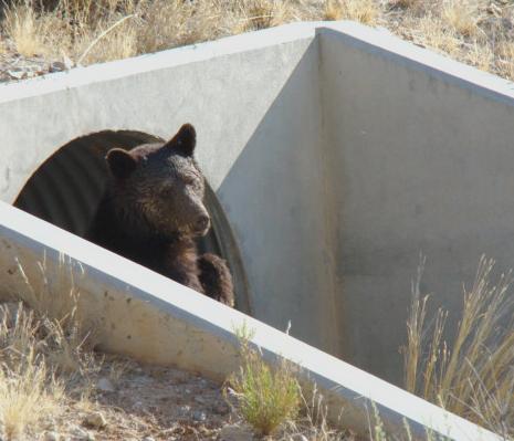 Saddlebrooke bear