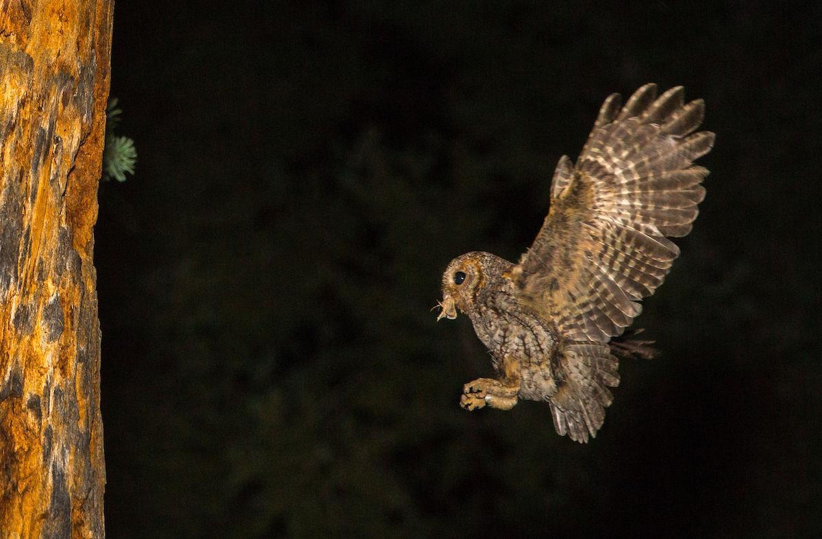 Flammulated Owl (5314)