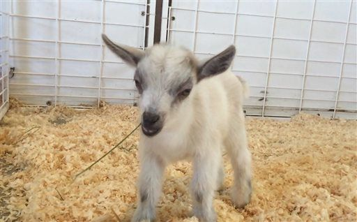 22770b039ec Officials are looking for a baby goat found missing from the Great American  Petting Zoo at the Arizona State Fair.