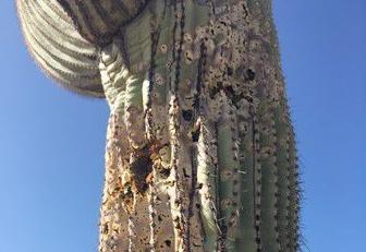 Saguaro vandalism