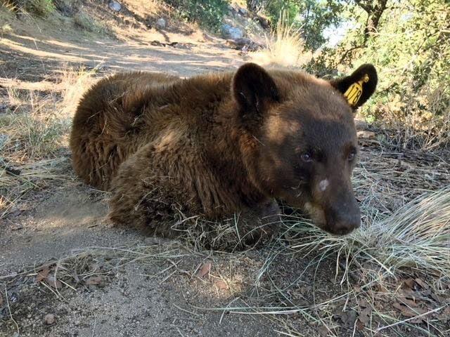 Bear roaming Rio Rico neighborhoods for weeks relocated