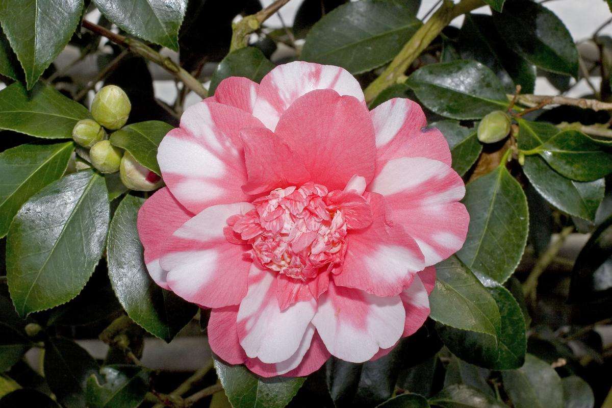 Camellias don't like the soil in Tucson