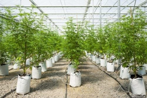 They're In The News, So What's The Difference Between Cannabis, Marijuana, Hemp, CBD And THC?