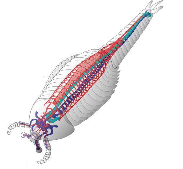 Hot discovery for UA neuroscientist: a Cambrian-era circulatory system