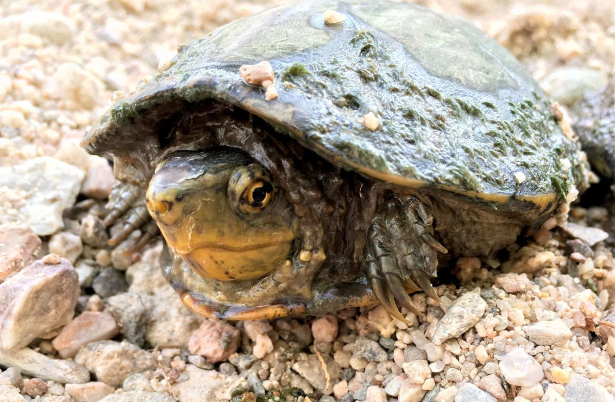 Sonoyta Mud Turtle