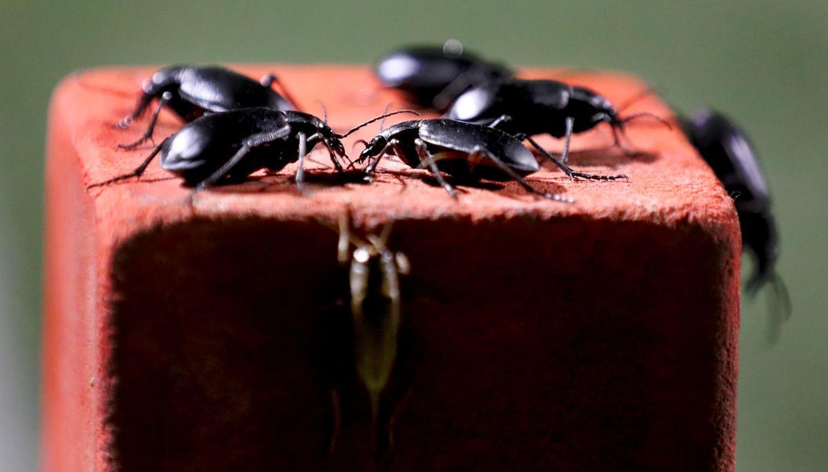 Black beetles, Cienega HS