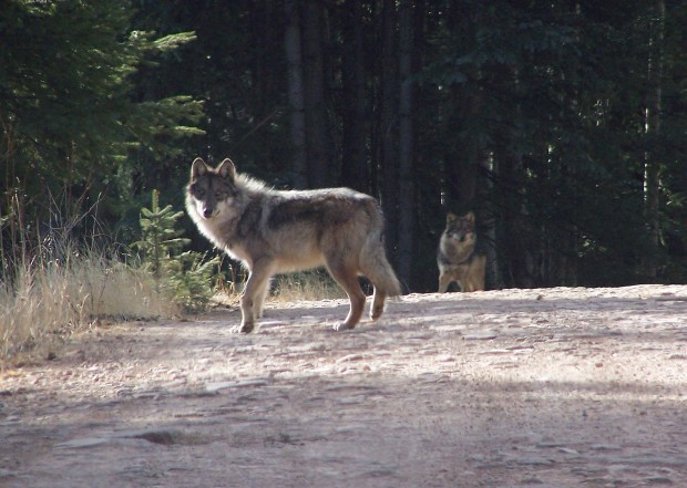 Wolf-recovery program now 'at risk of failure'