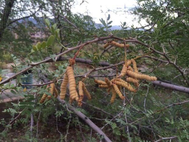 Screwbean mesquite tree