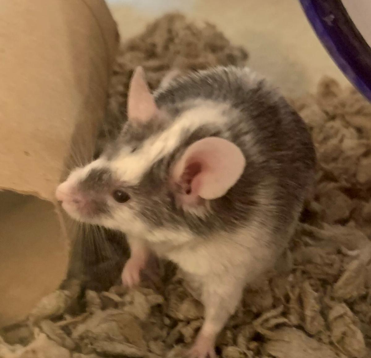 Bernard, Sarah Garrecht Gassen's mouse