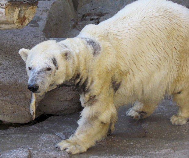 Polar bear itch gone, thanks to sunshine