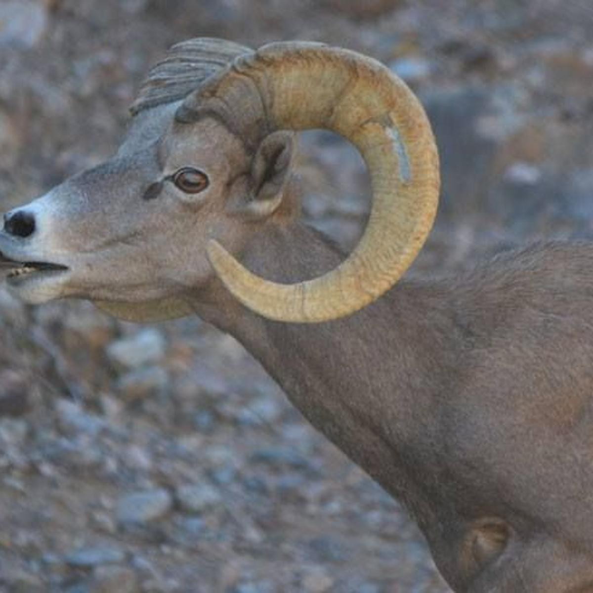 Why The Desert Bighorn Sheep Crossed The Road Local News Tucson Com