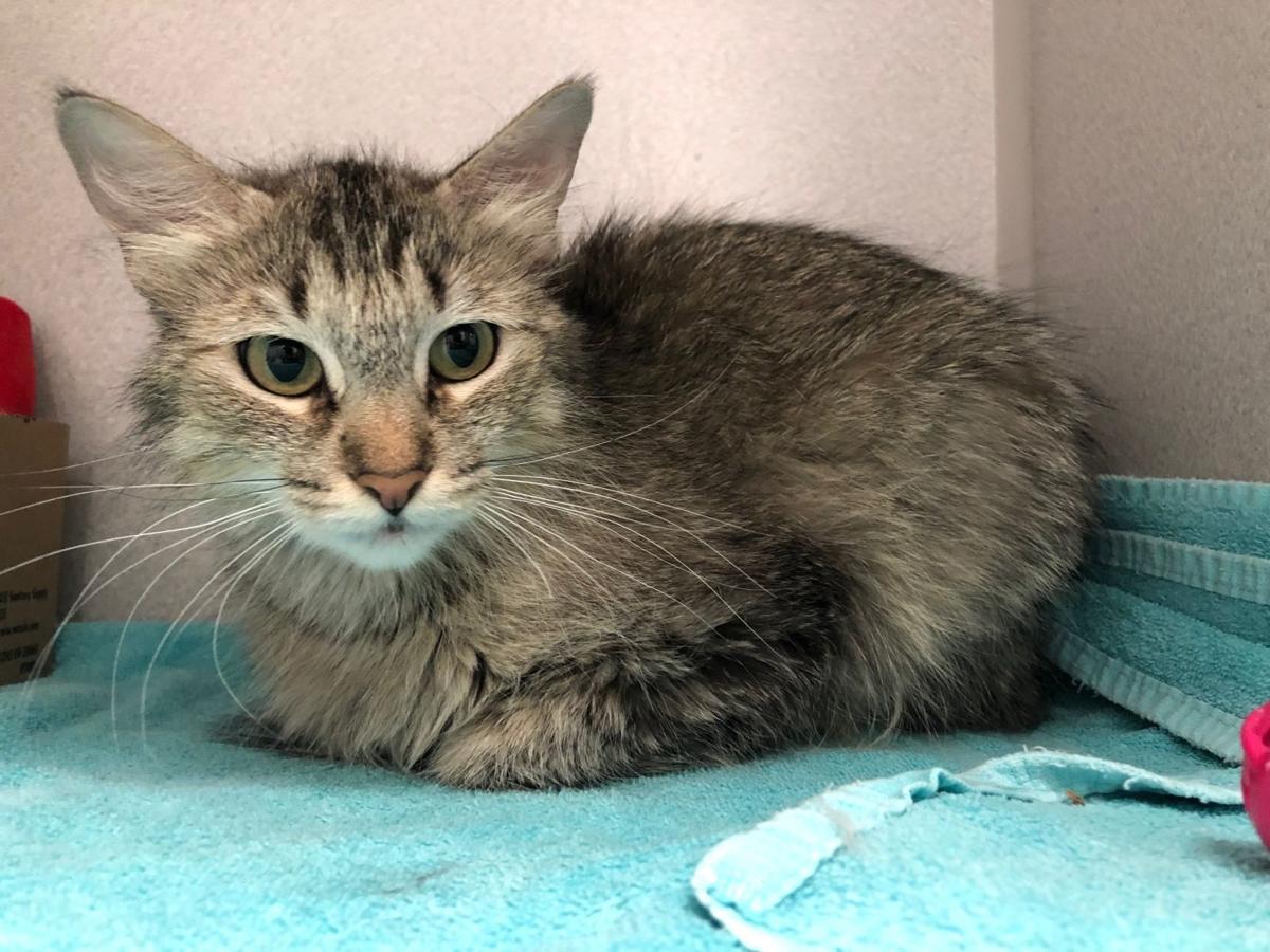 Pima Animal Care Center offering free cat adoptions in June