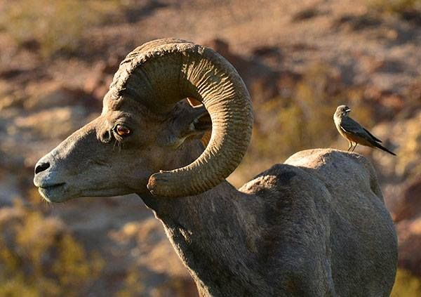 Why the desert bighorn sheep crossed the road | Local news