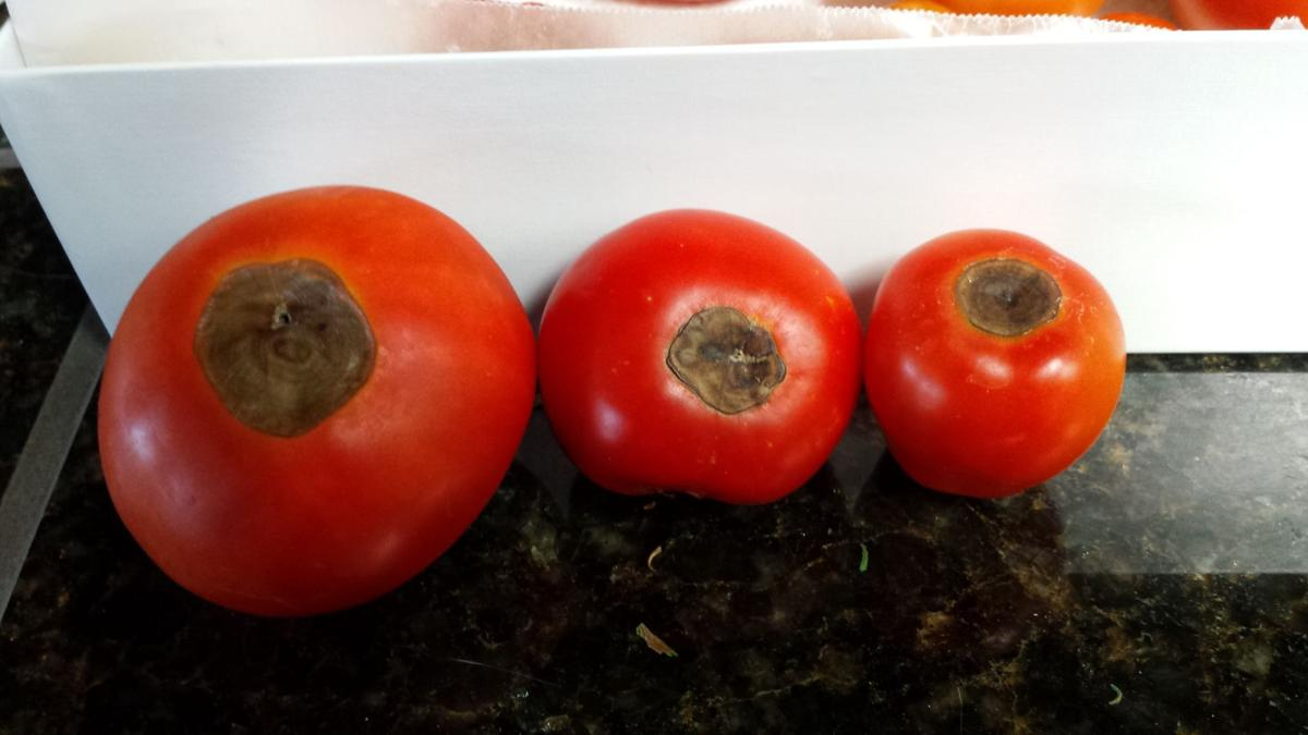 Tomatoes with bottom end rot