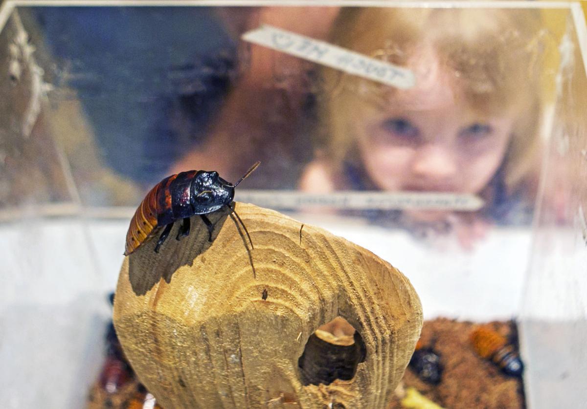 Madagascar Hissing Cockroache