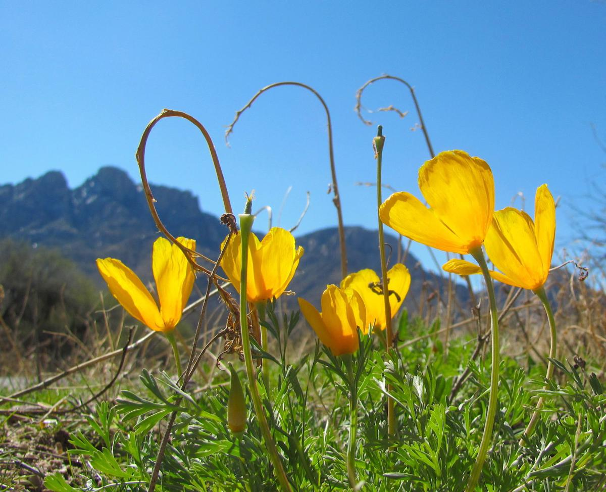 Poppies and a mountain ridge