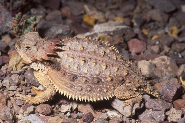 Pima County will pay $284,000 to protect lizards at construction site