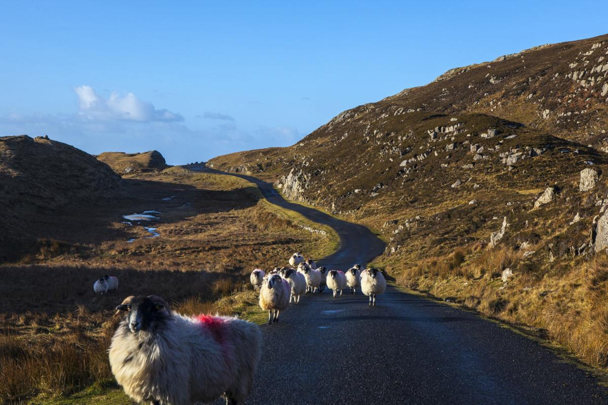 Mountain sheep on the road to Bunglass, Slieve League, Donegal, Ireland.