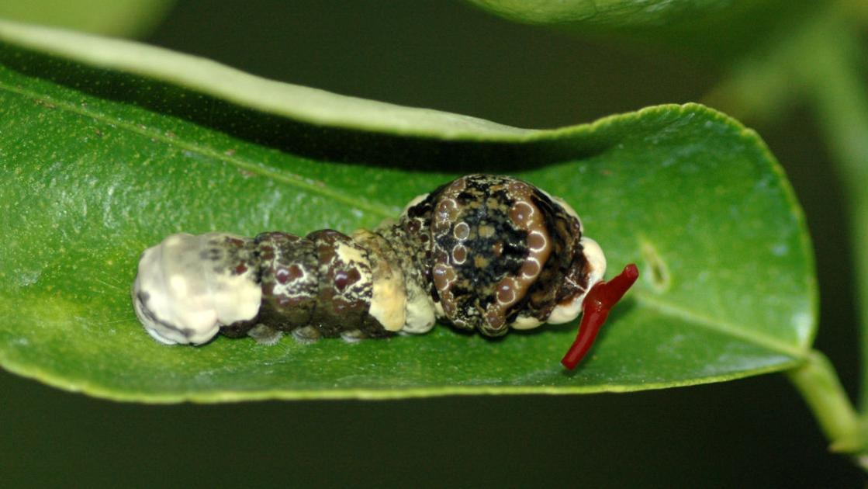 Orange dog caterpillars | | tucson.com