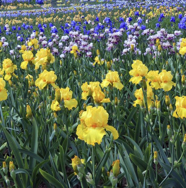 Irises, irises as far as the eye can see