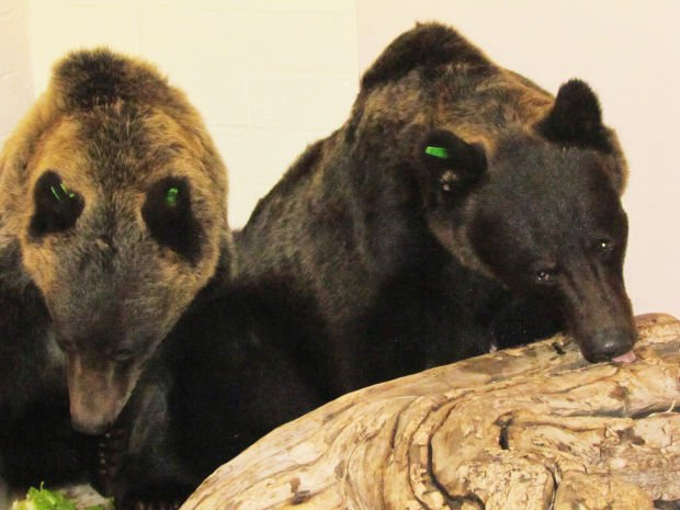 2 Montana grizzlies arrive at Reid zoo