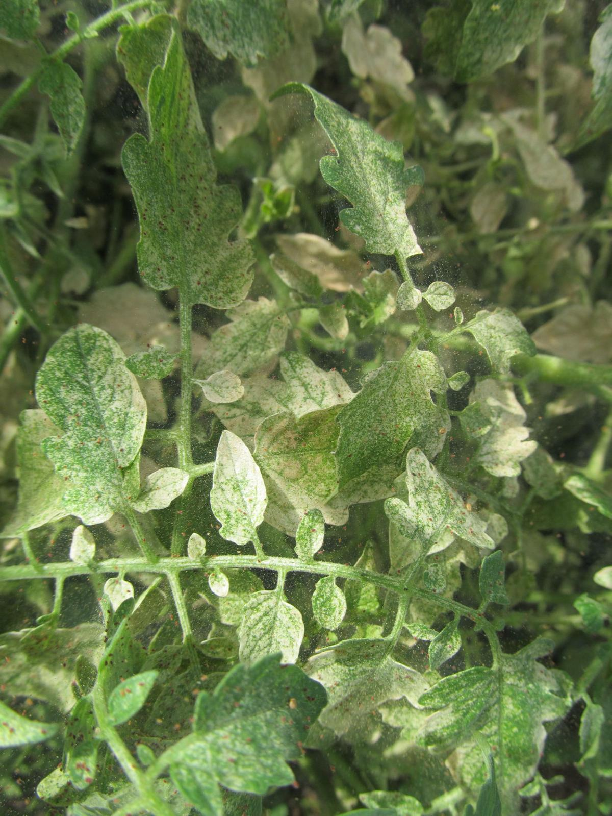 Spider Mite Damage On Tomatoes