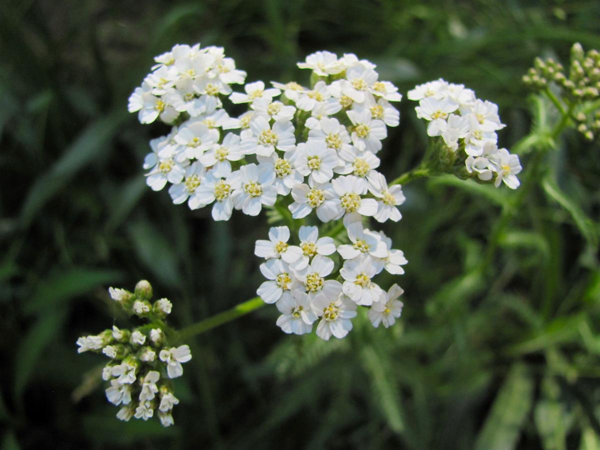 Bear Wallow wildflowers