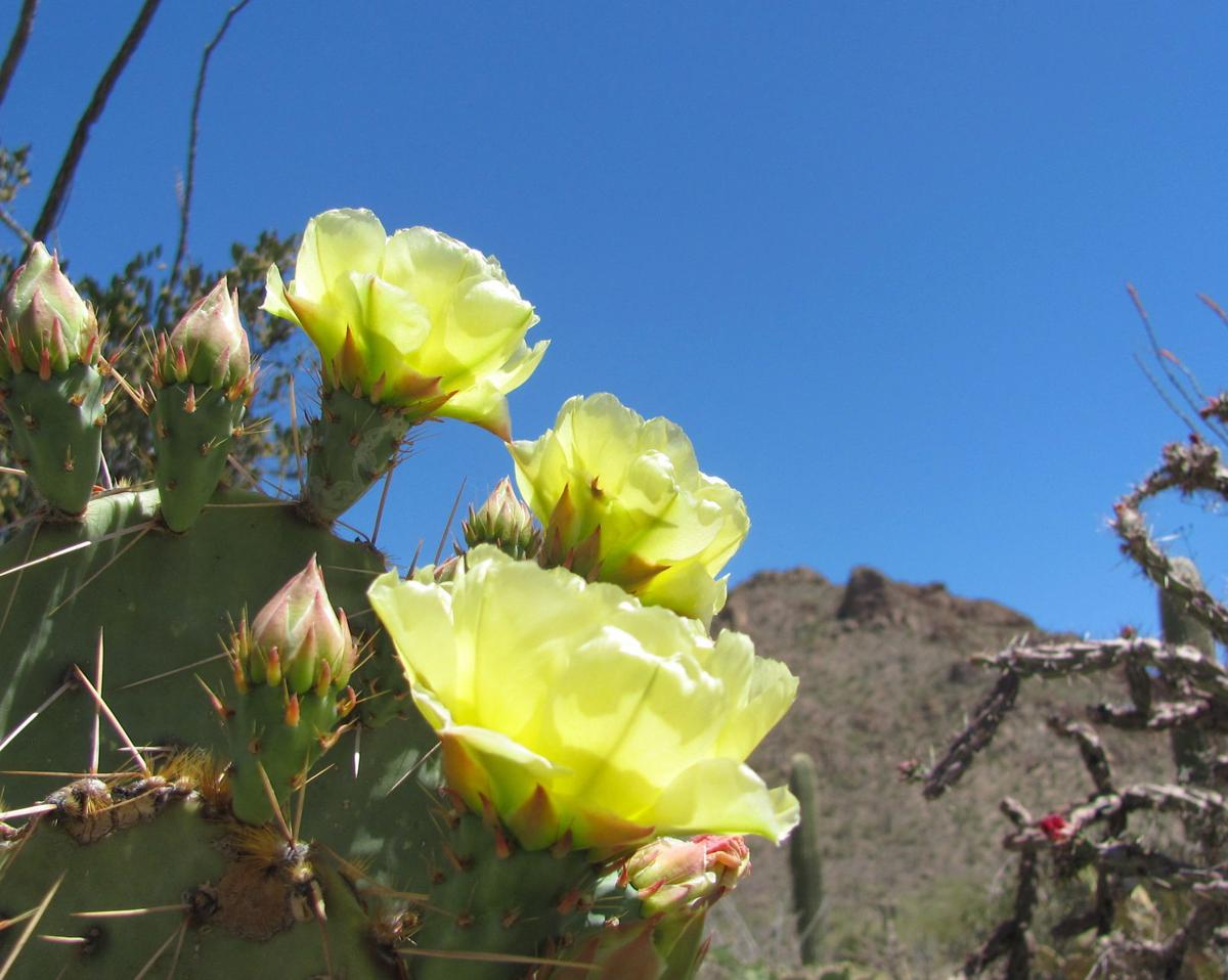 Prickly things are blooming in deserts around tucson recreation yellow prickly pear flowers mightylinksfo