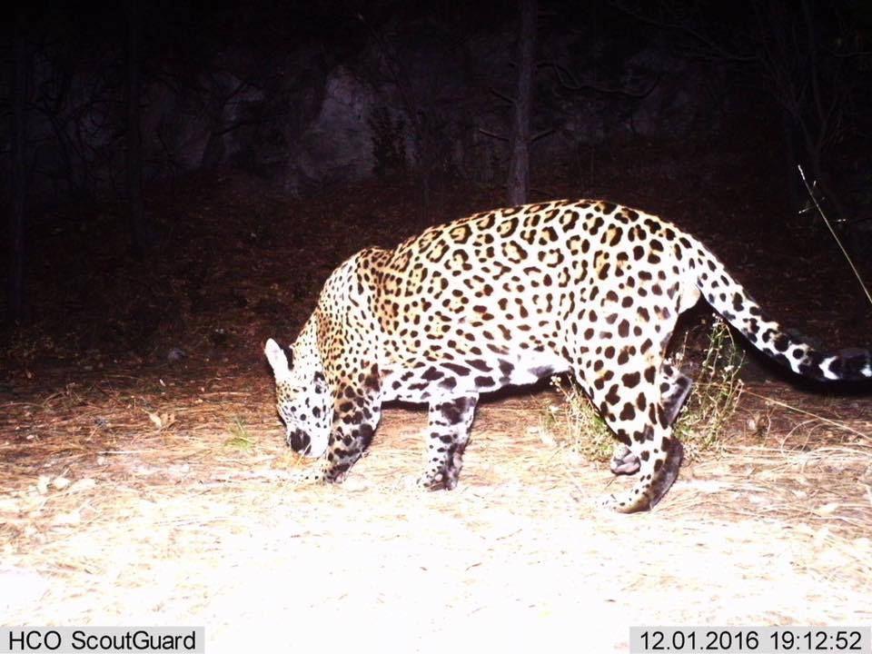 Jaguar, You0027oko