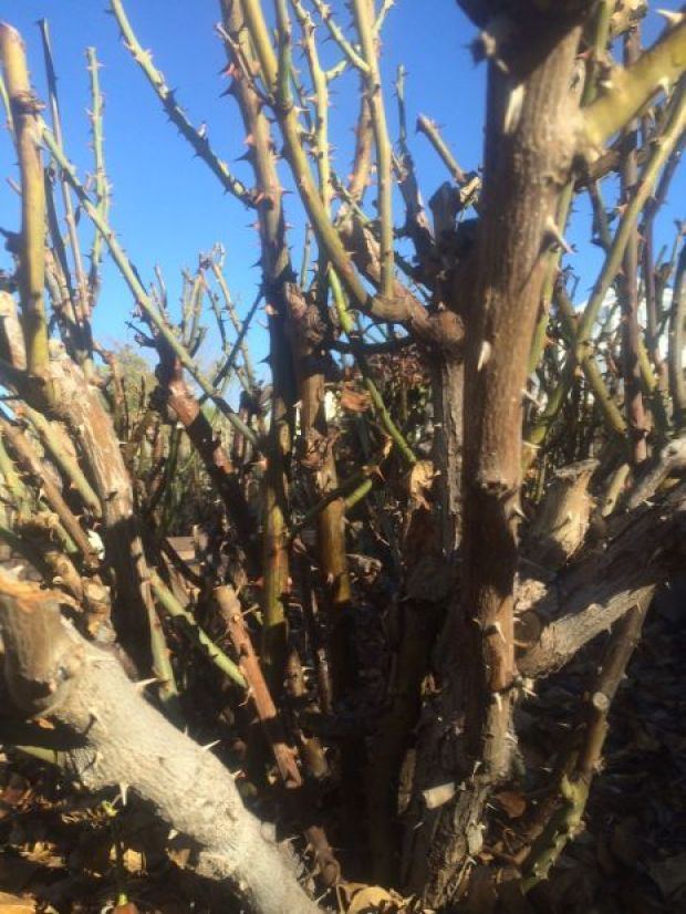 Garden Sage: Tucson Gardening In Spring Means Its Time To Fertilize