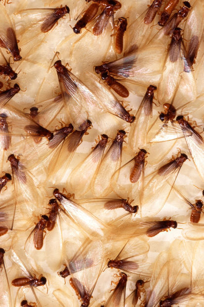 Will the Termites Come Back to My House Again?
