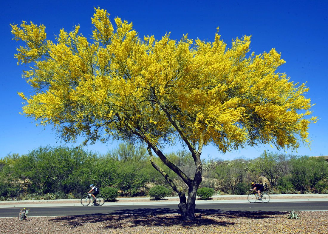 Palo verde trees are in bloom here are 10 things to know about this 02 paloverde p1 mightylinksfo