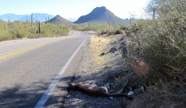 Mountain lion struck by car NW of Tucson dies