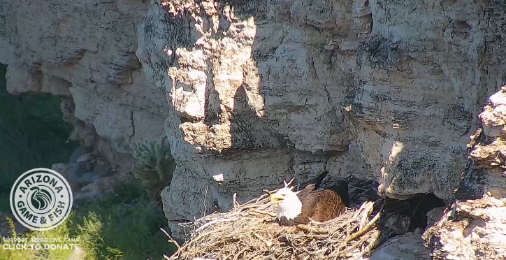 WATCH: The Lake Pleasant bald eagle camera has landed back ...