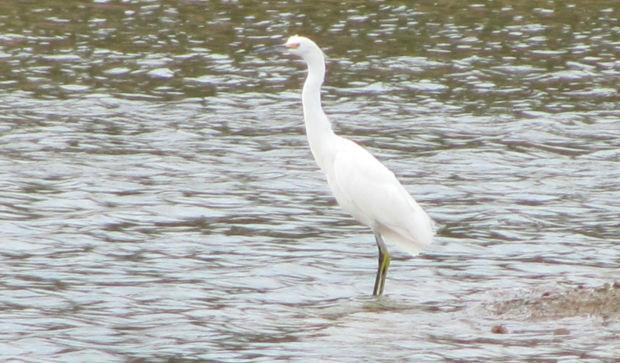 Waterbird at pond