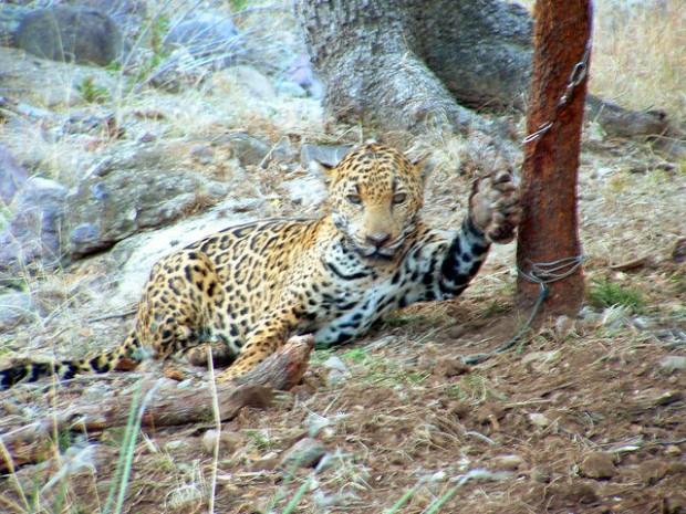 Ariz. Game and Fish investigating jaguar capture