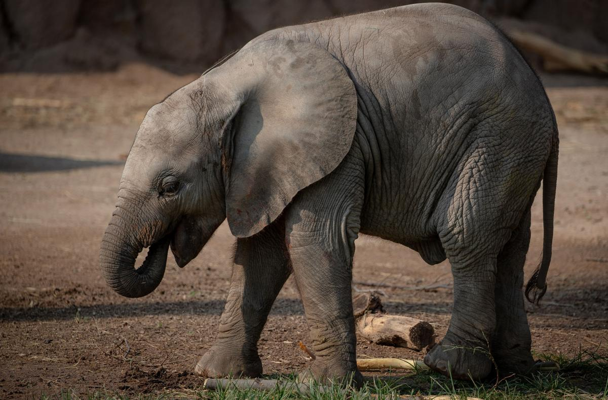Mapenzi uses her trunk to gnaw on plants at Reid Park Zoo, 3400 E. Zoo Court, on Aug. 25, 2020.