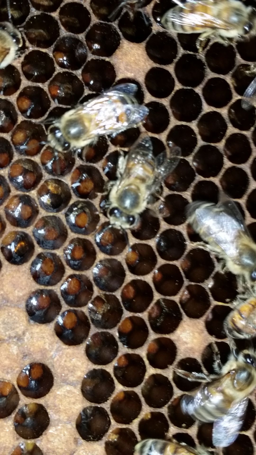 80 000 Africanized Bees Removed From Oro Valley Home Local News Tucson Com