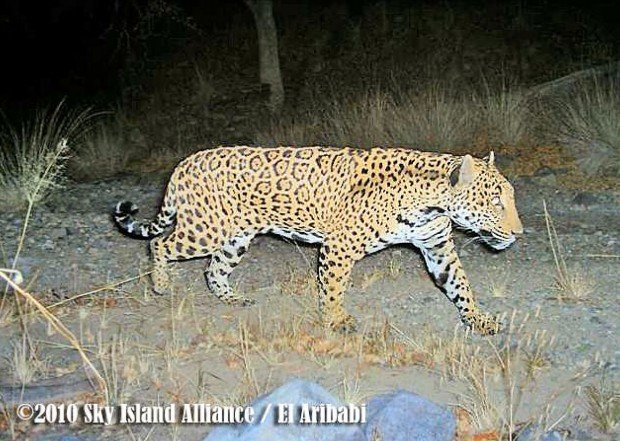 camera snaps jaguar photos below border | environment | tucson