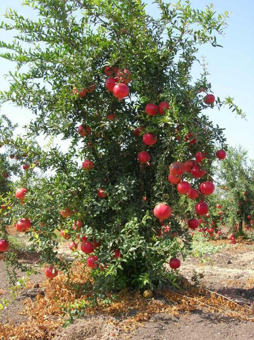 Garden Sage Pomegranate Trees