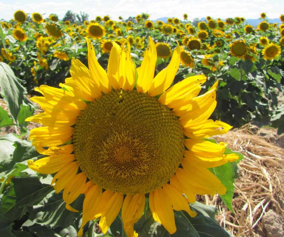 Large sunflowers