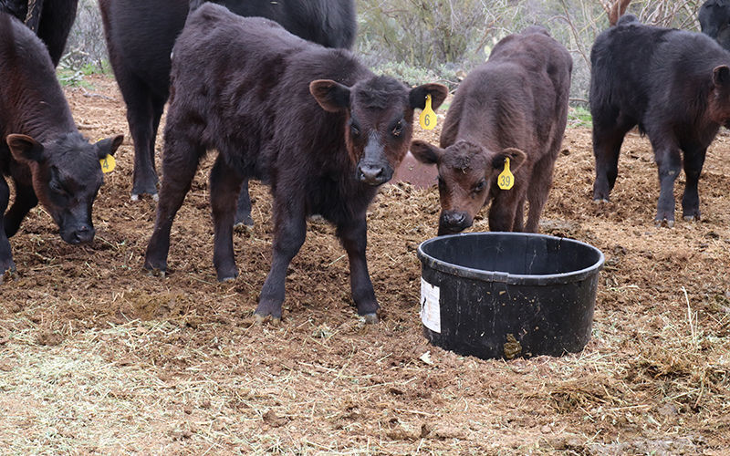 Arizona rancher uses science to raise healthy beef