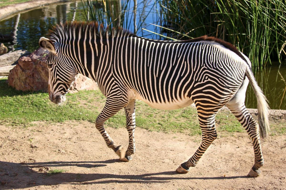 Anna, Grevy's zebra at Reid Park Zoo