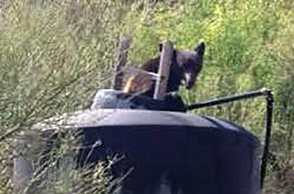Bear uses ladder to get out of water tank