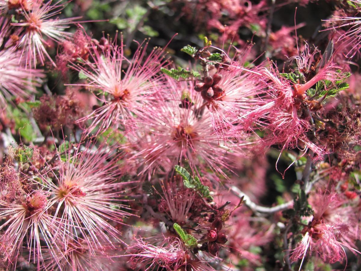 Fairy duster in bloom